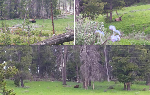 Clockwise from top left: buffalo, elk, grizzly bear